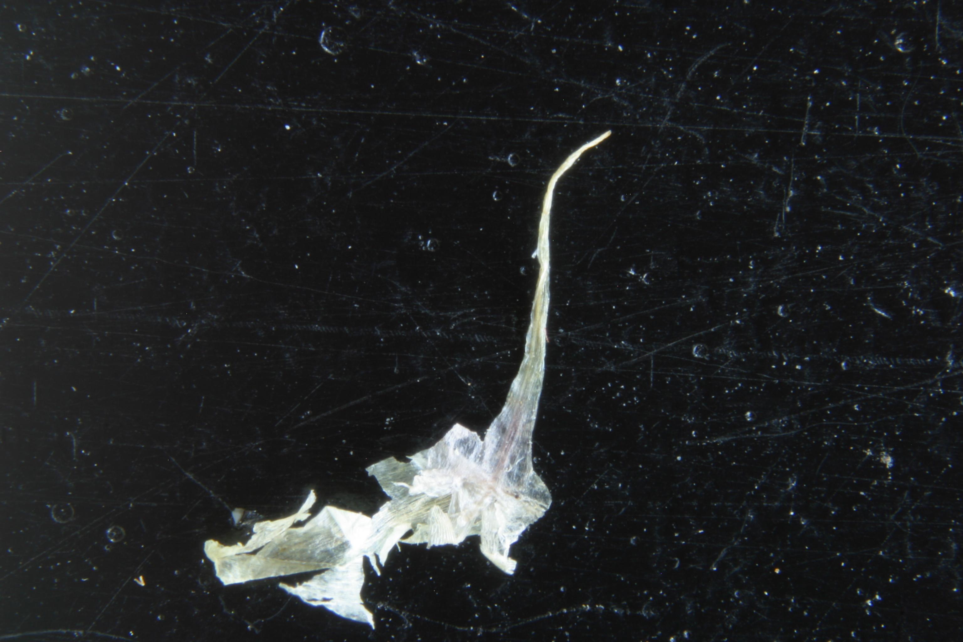 view image: Allium strictum Schrad.