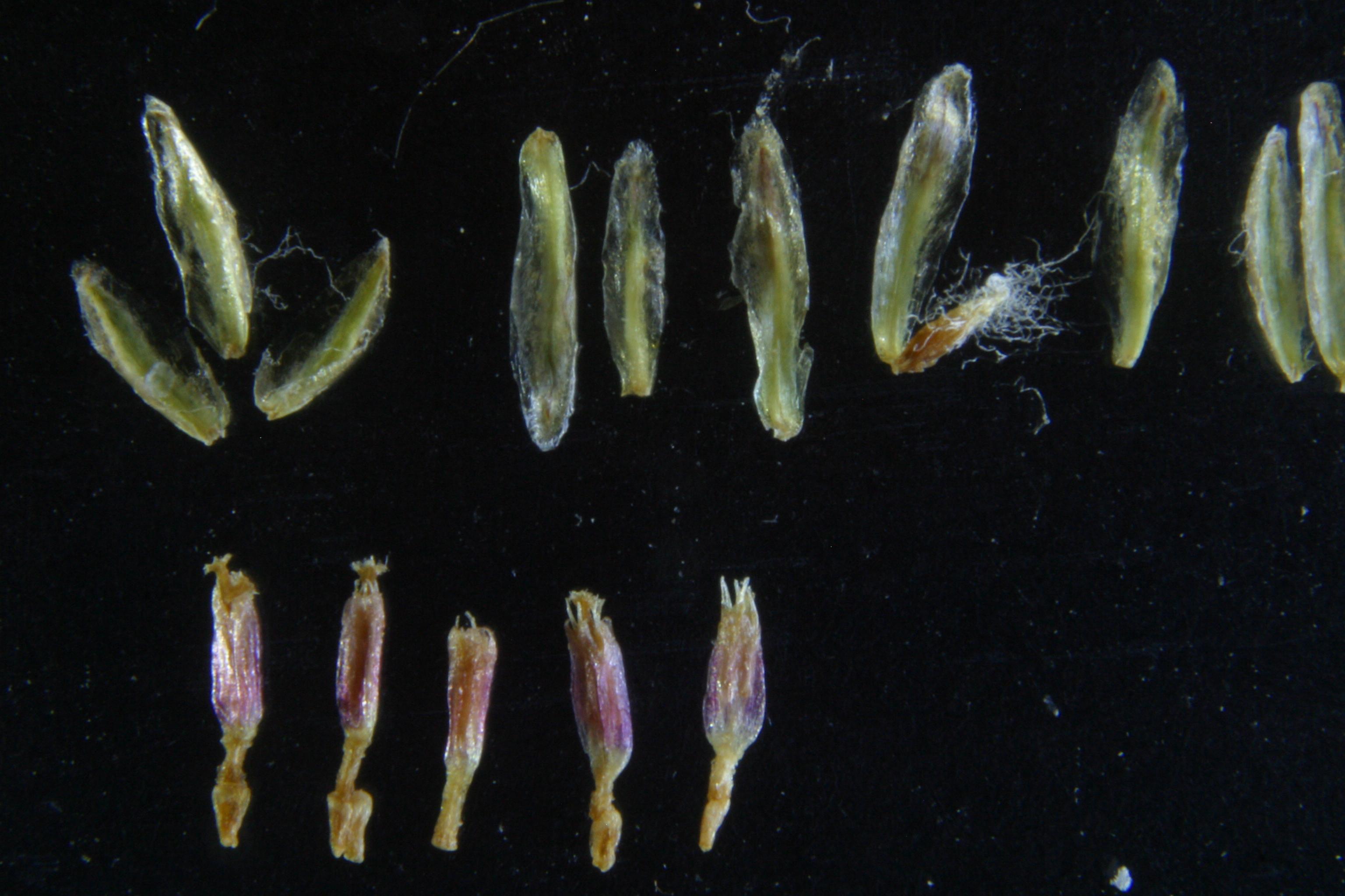 view image: Artemisia compacta Fisch.