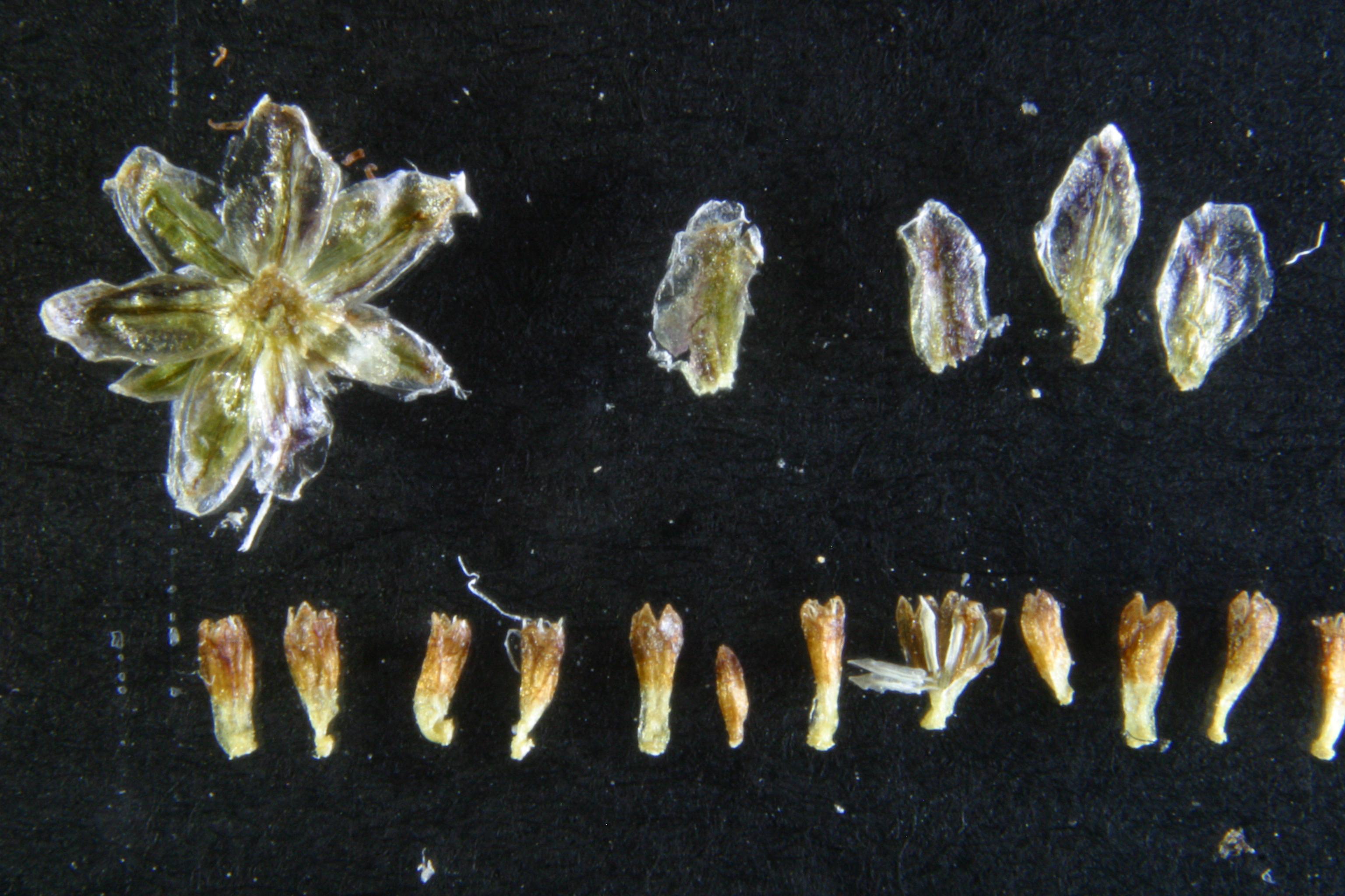 view image: Artemisia glauca Pall. ex Willd.
