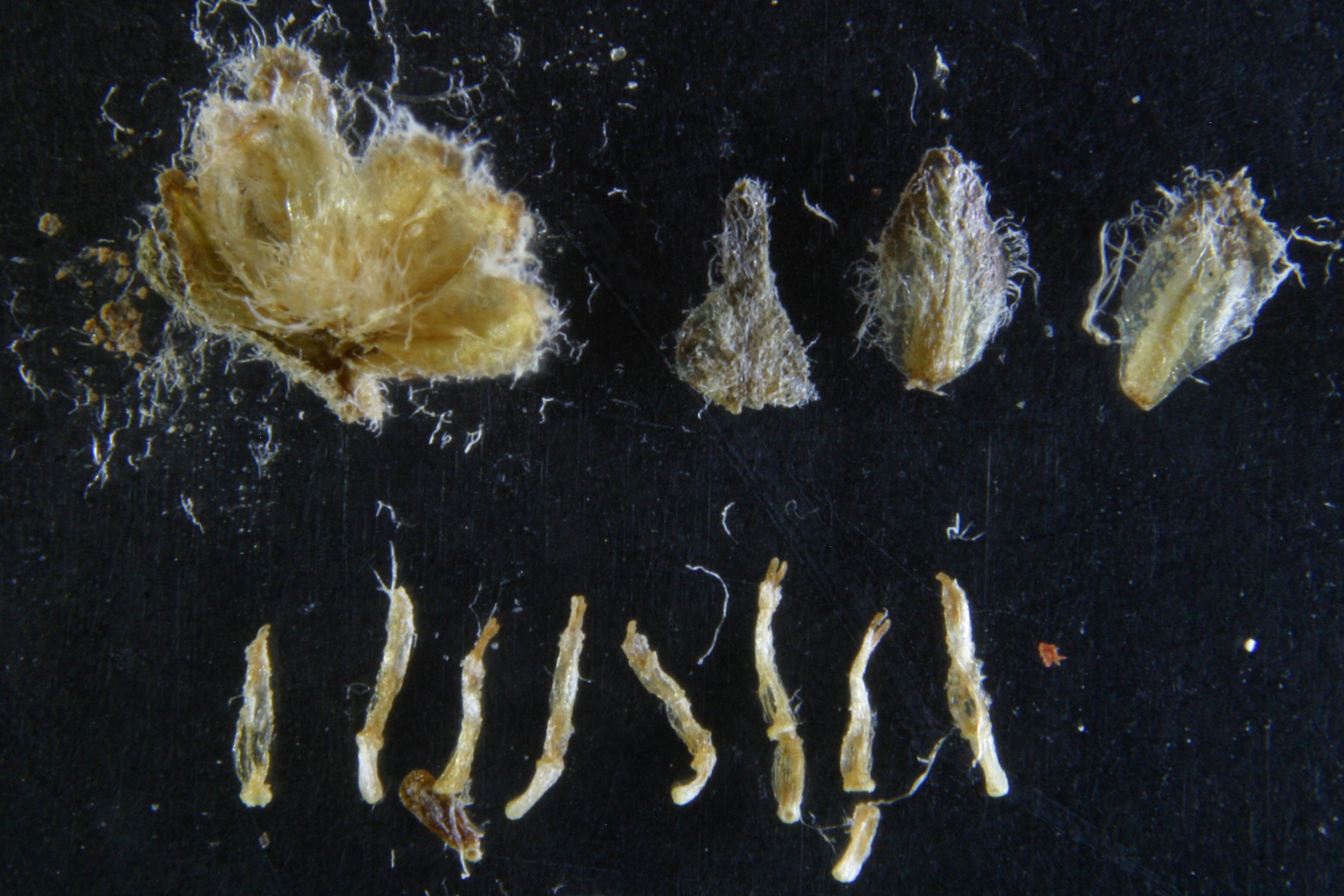 view image: Artemisia obtusiloba Ledeb.