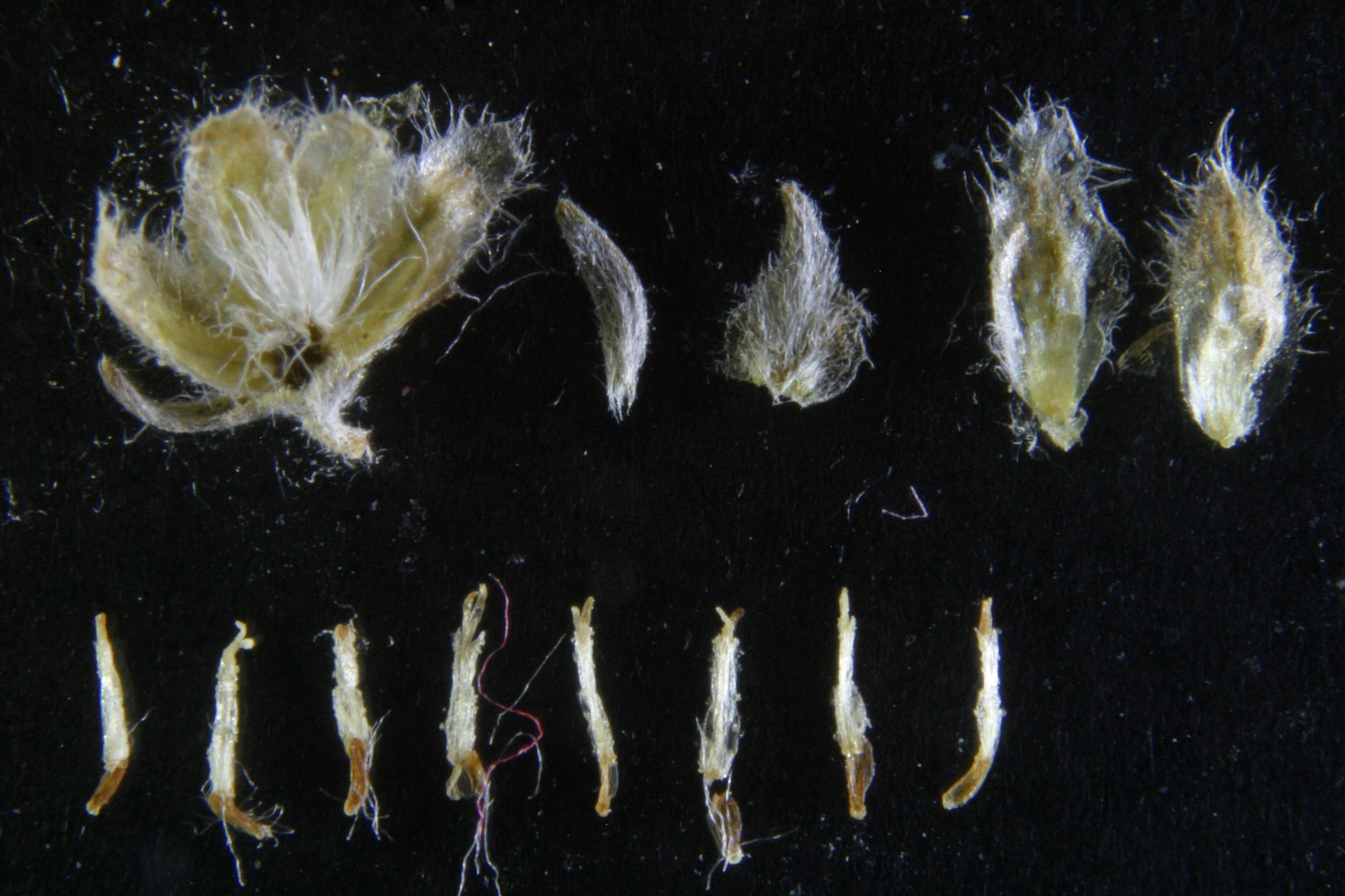 view image: Artemisia frigida