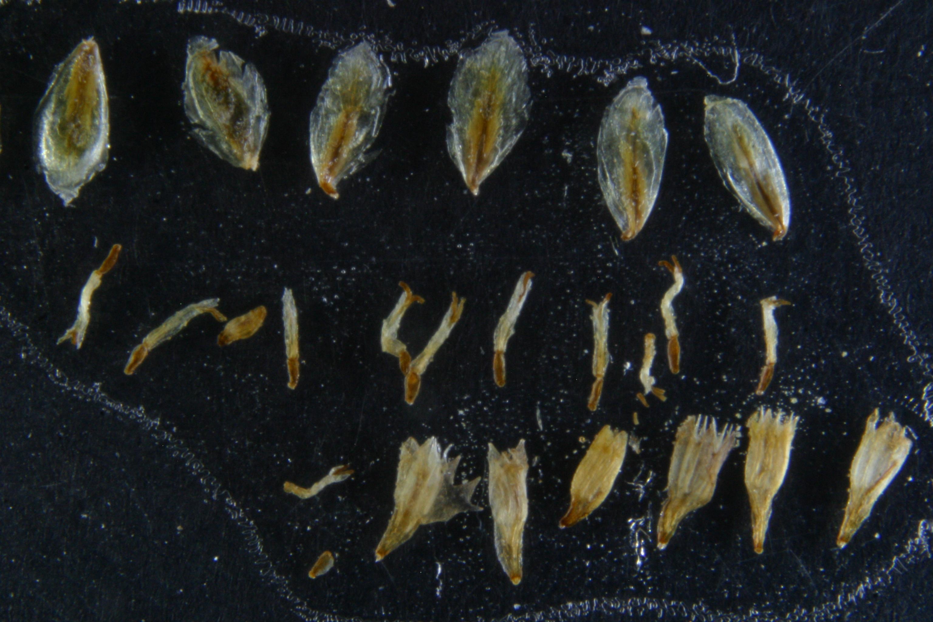 view image: Artemisia scoparia Waldst. et Kit.