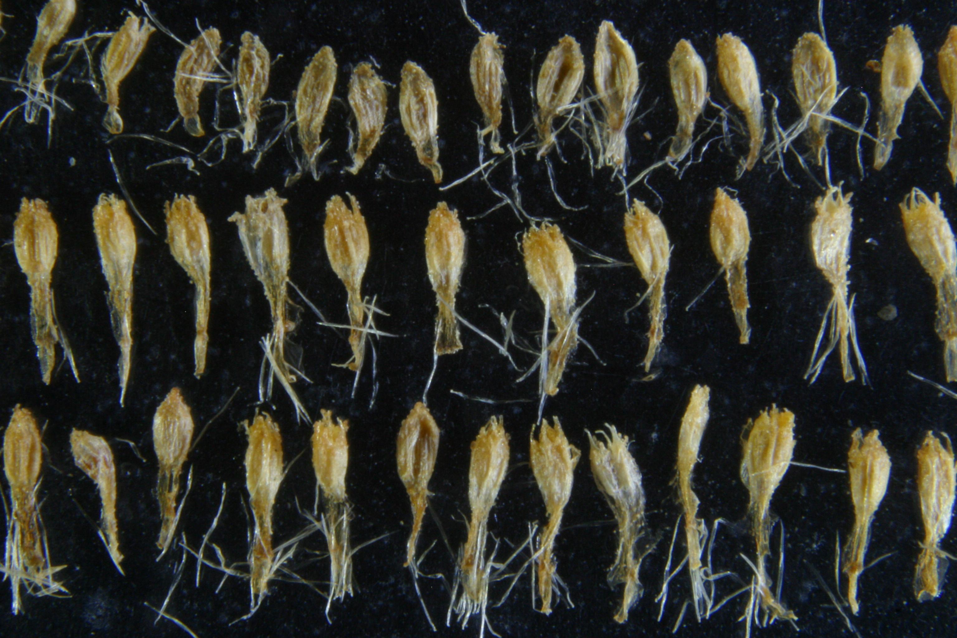 view image: Artemisia macrocephala Jacq. ex Bess.