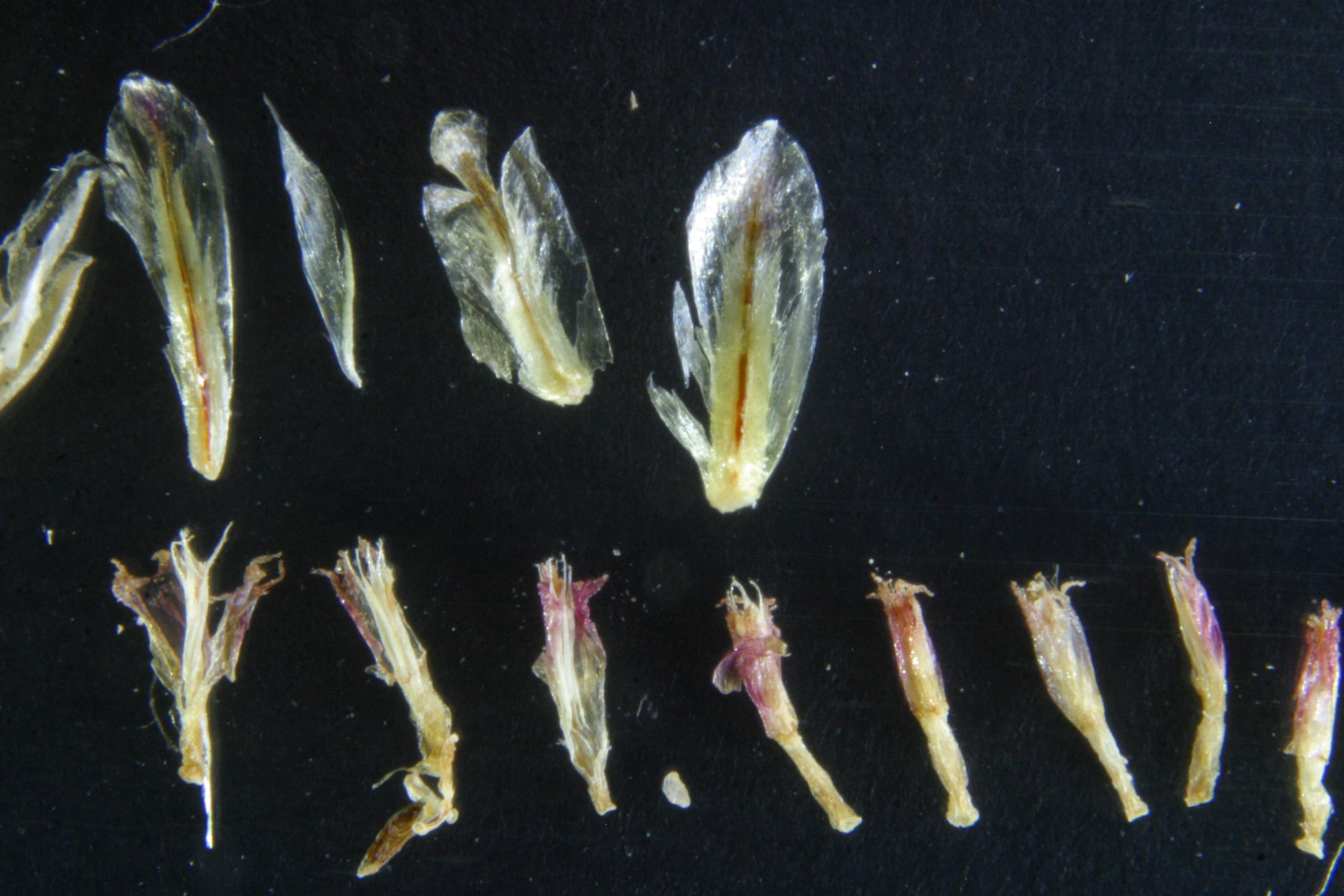 view image: Neopallasia pectinata (Pall.) Poljak.