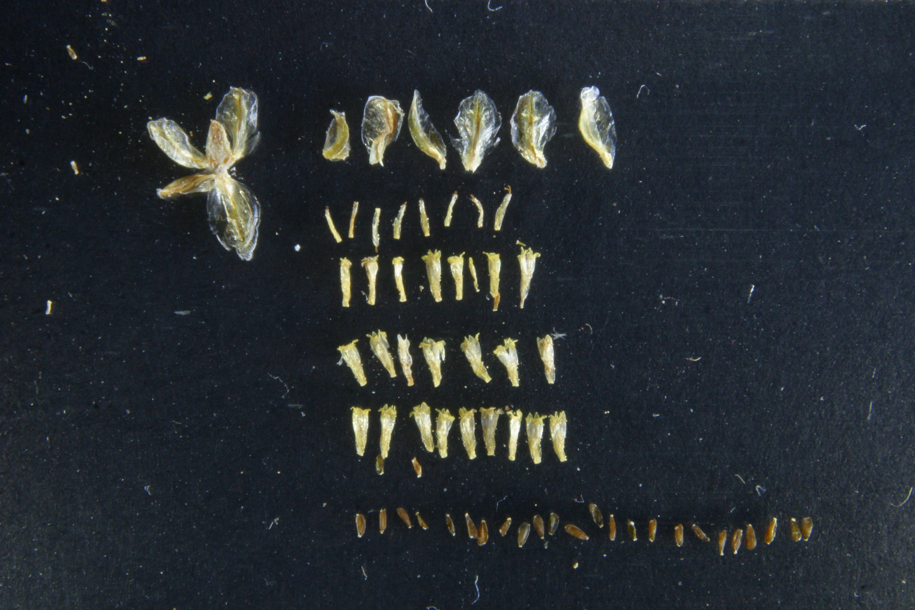 view image: Artemisia palustris L.