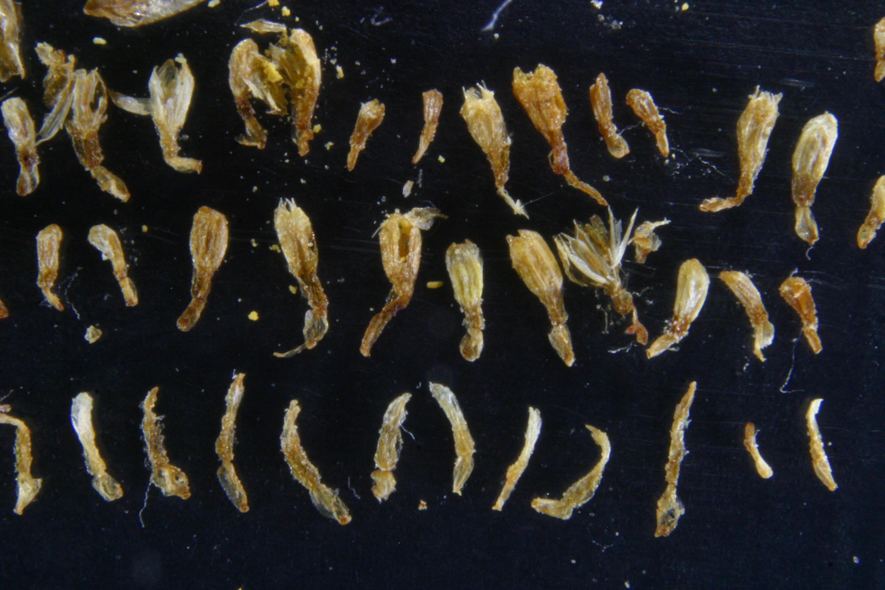 view image: Artemisia freyniana (Pamp.) Krasch.