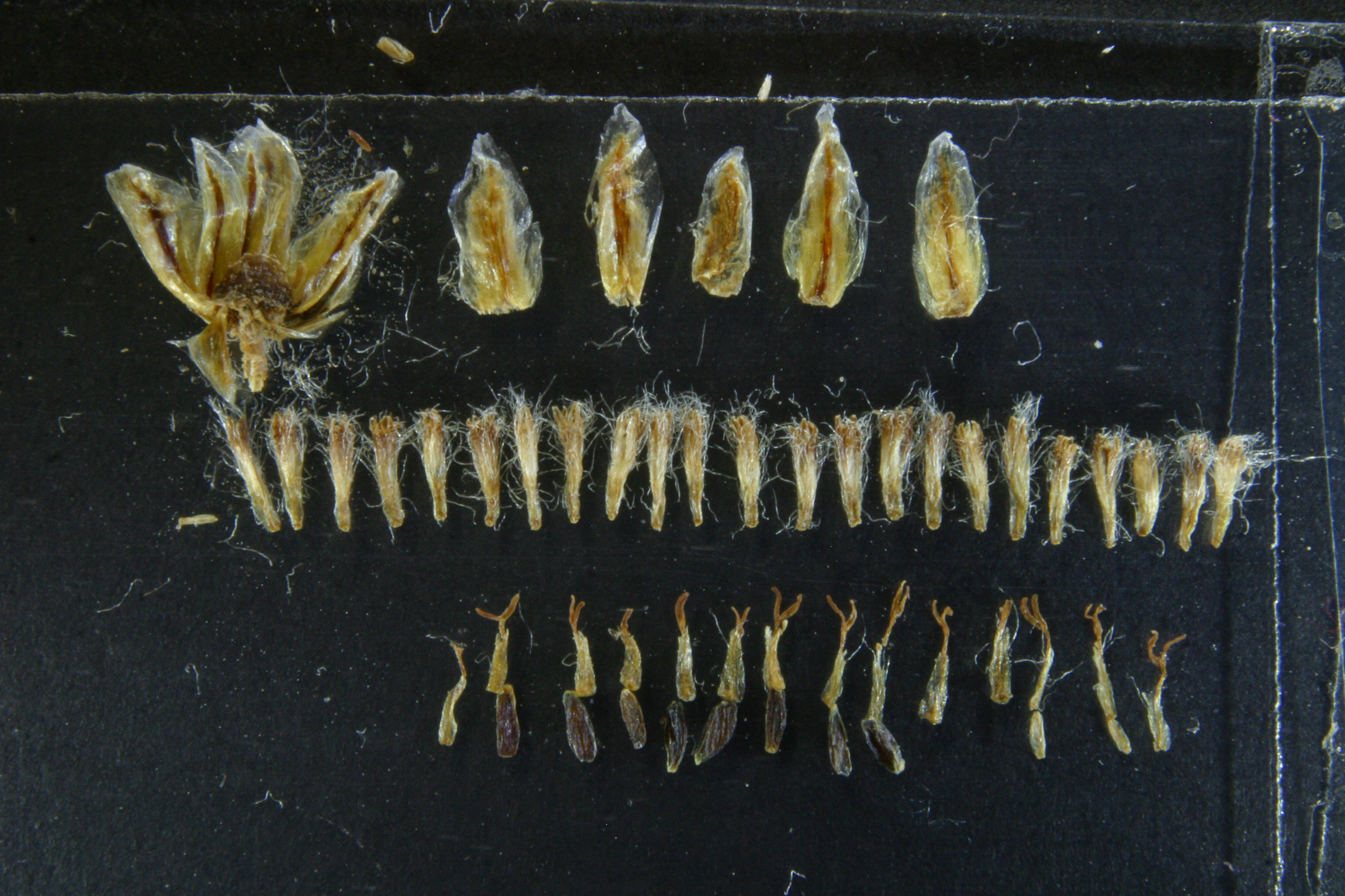 view image: Artemisia pycnorhiza Ledeb.