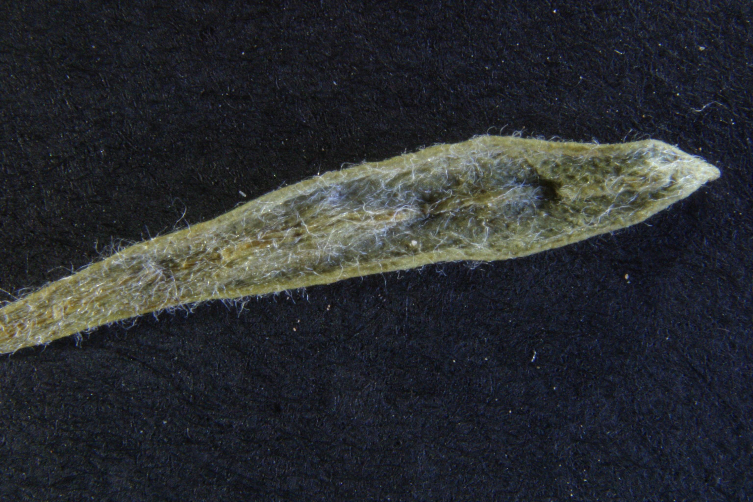 view image: Artemisia caespitosa Ledeb.