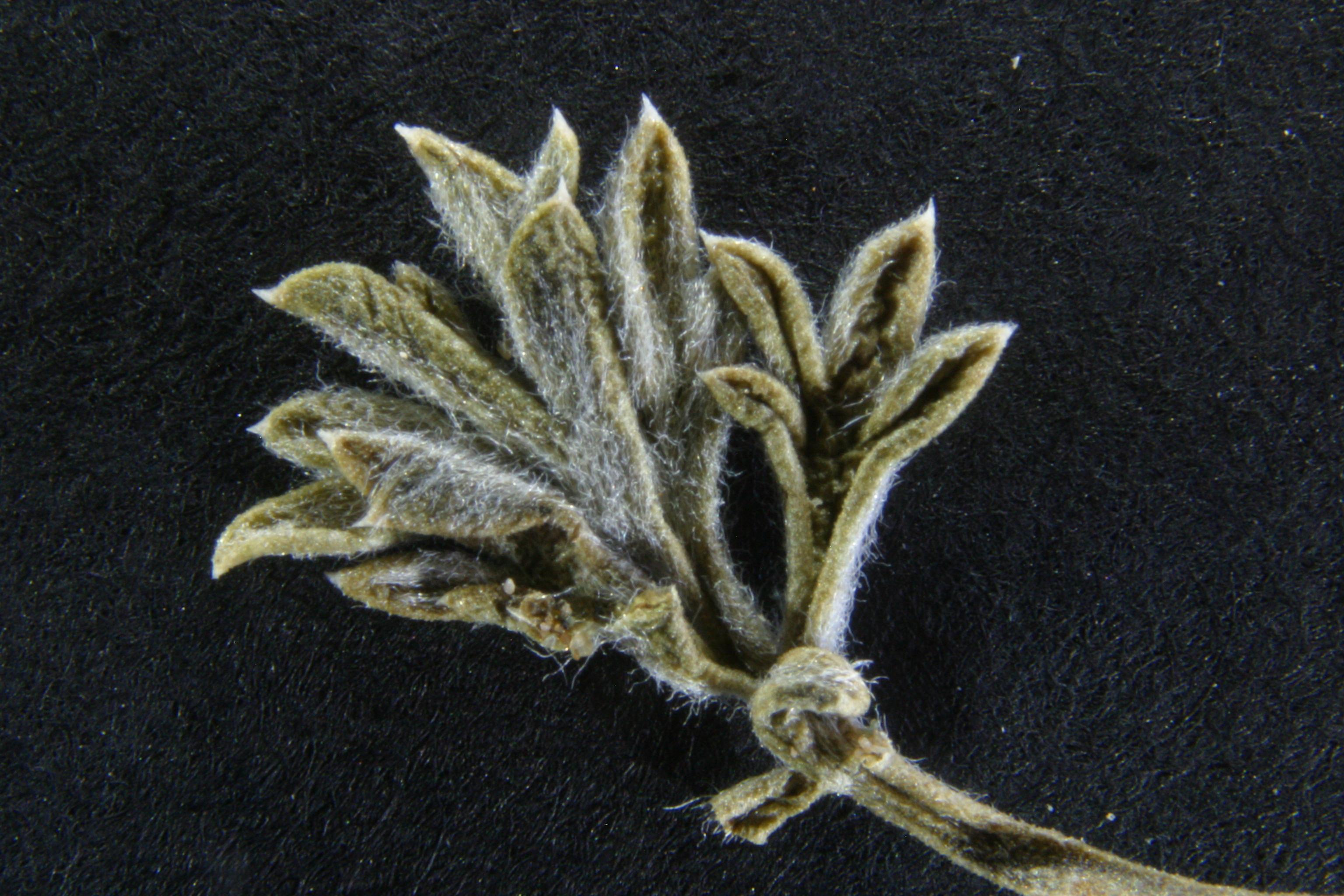 view image: Artemisia schischkinii Krasch.