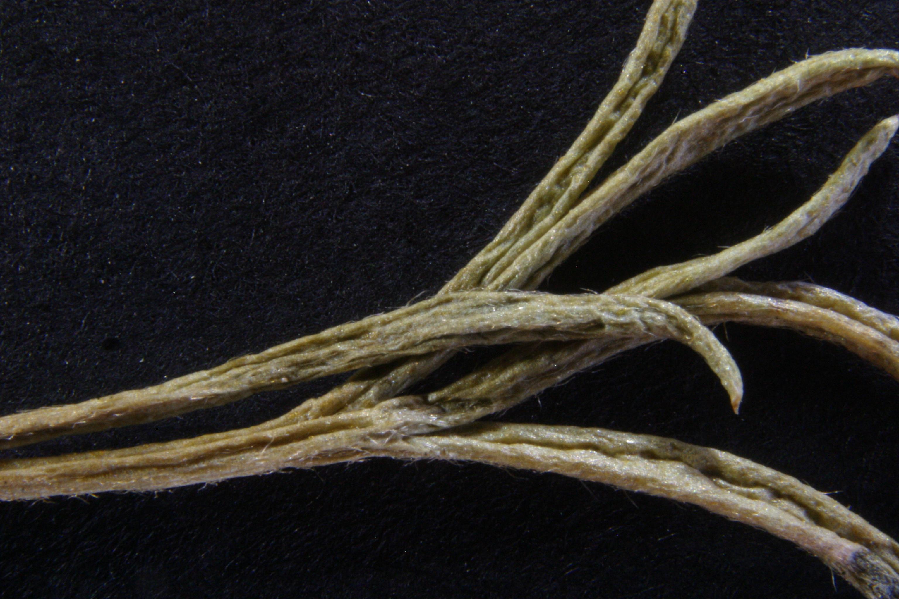 view image: Artemisia xanthochroa Krasch.