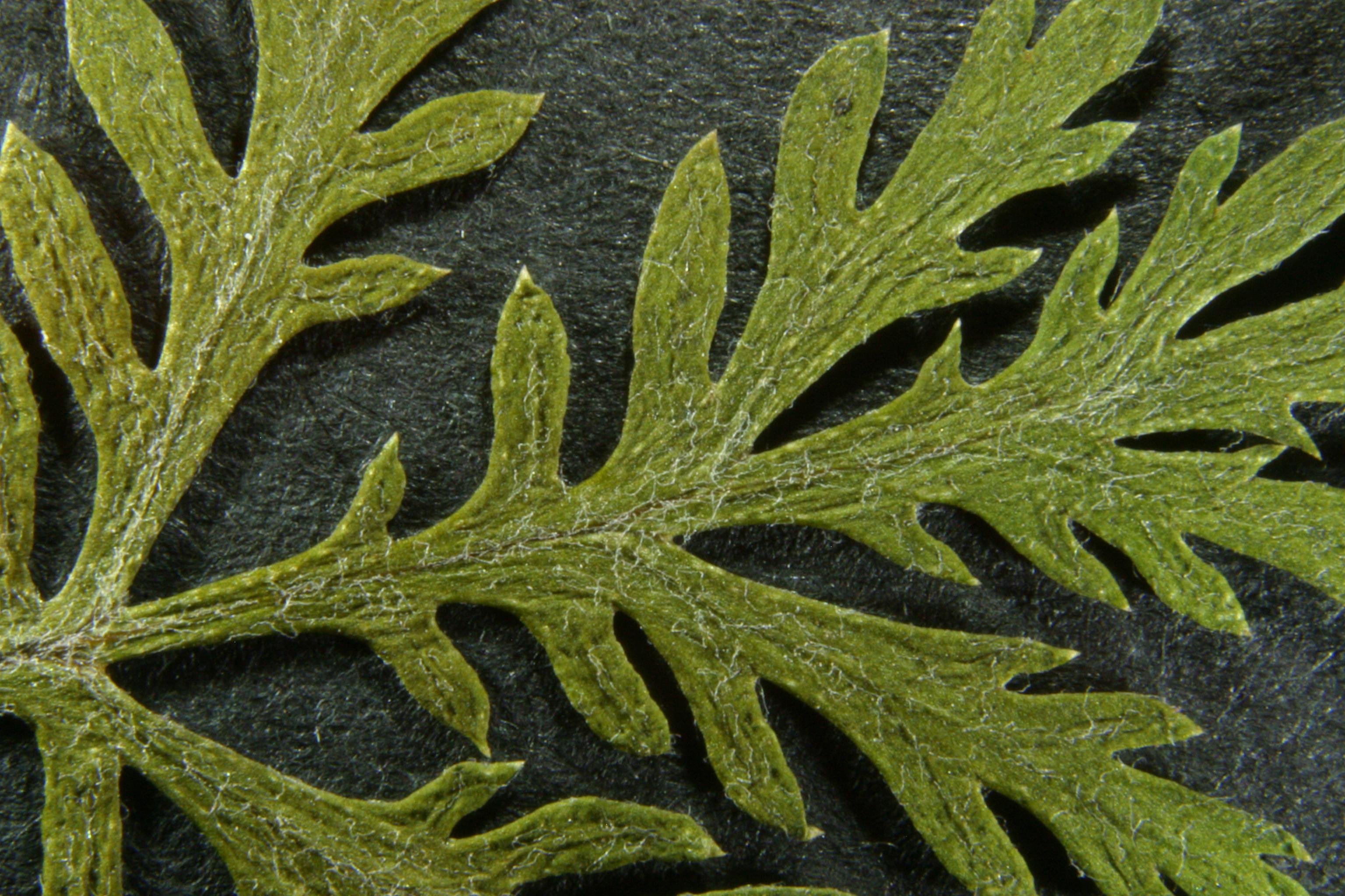 view image: Artemisia gmelinii Web. ex Stechm.