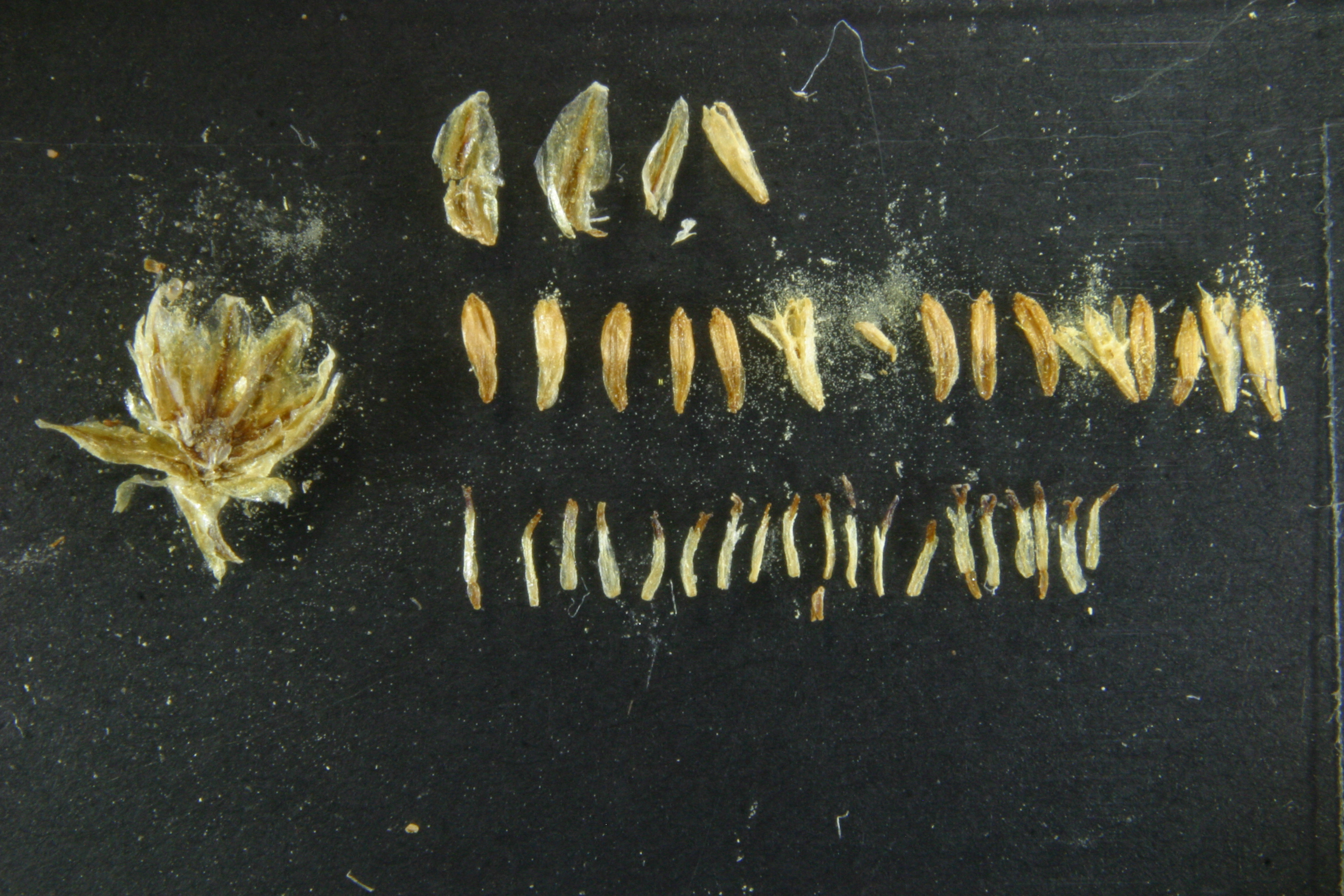 view image: Artemisia dolosa Krasch.