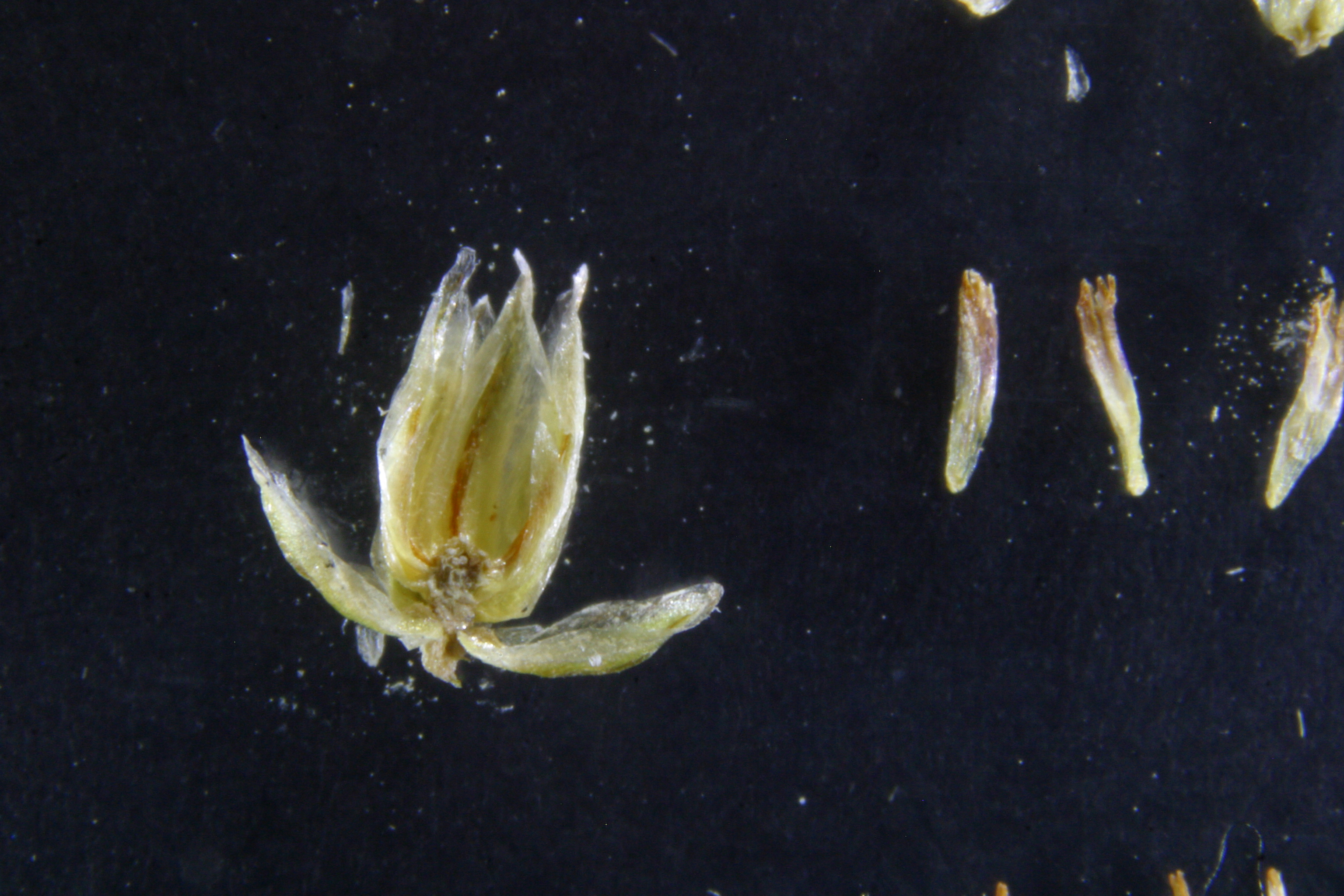view image: Artemisia commutata Bess.
