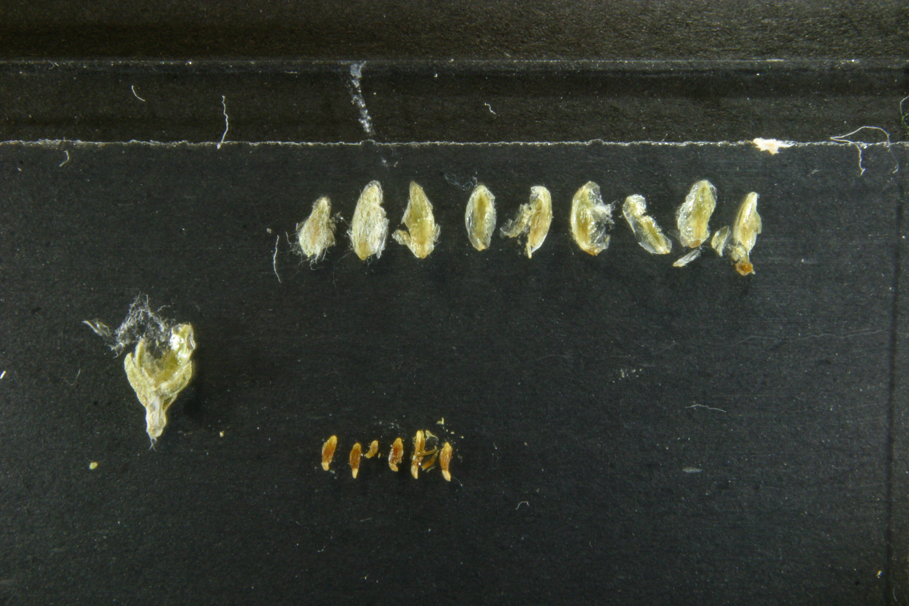 view image: Artemisia mongolorum