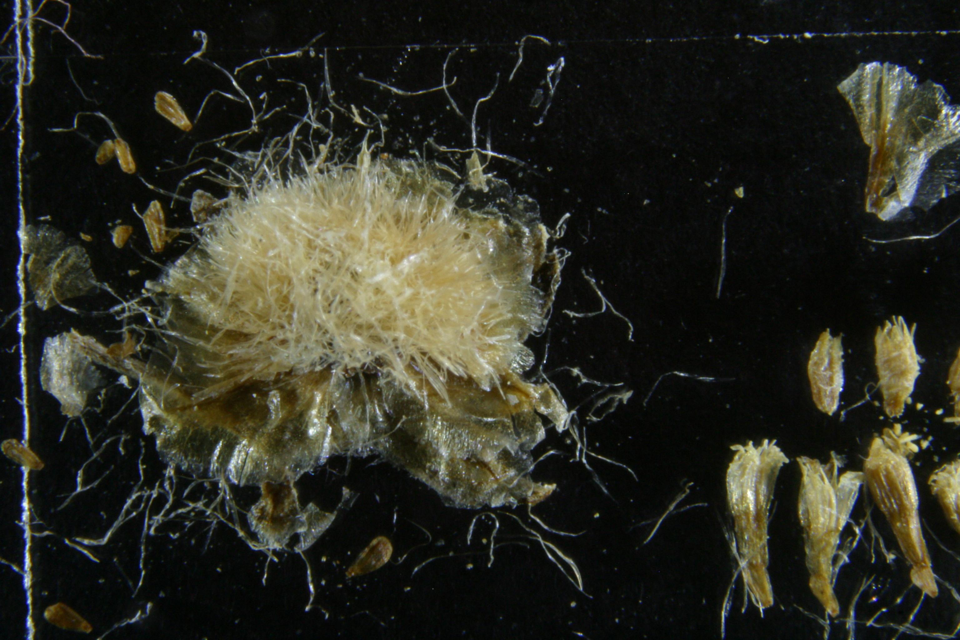 view image: Arctogeron gramineum (L.) DC.