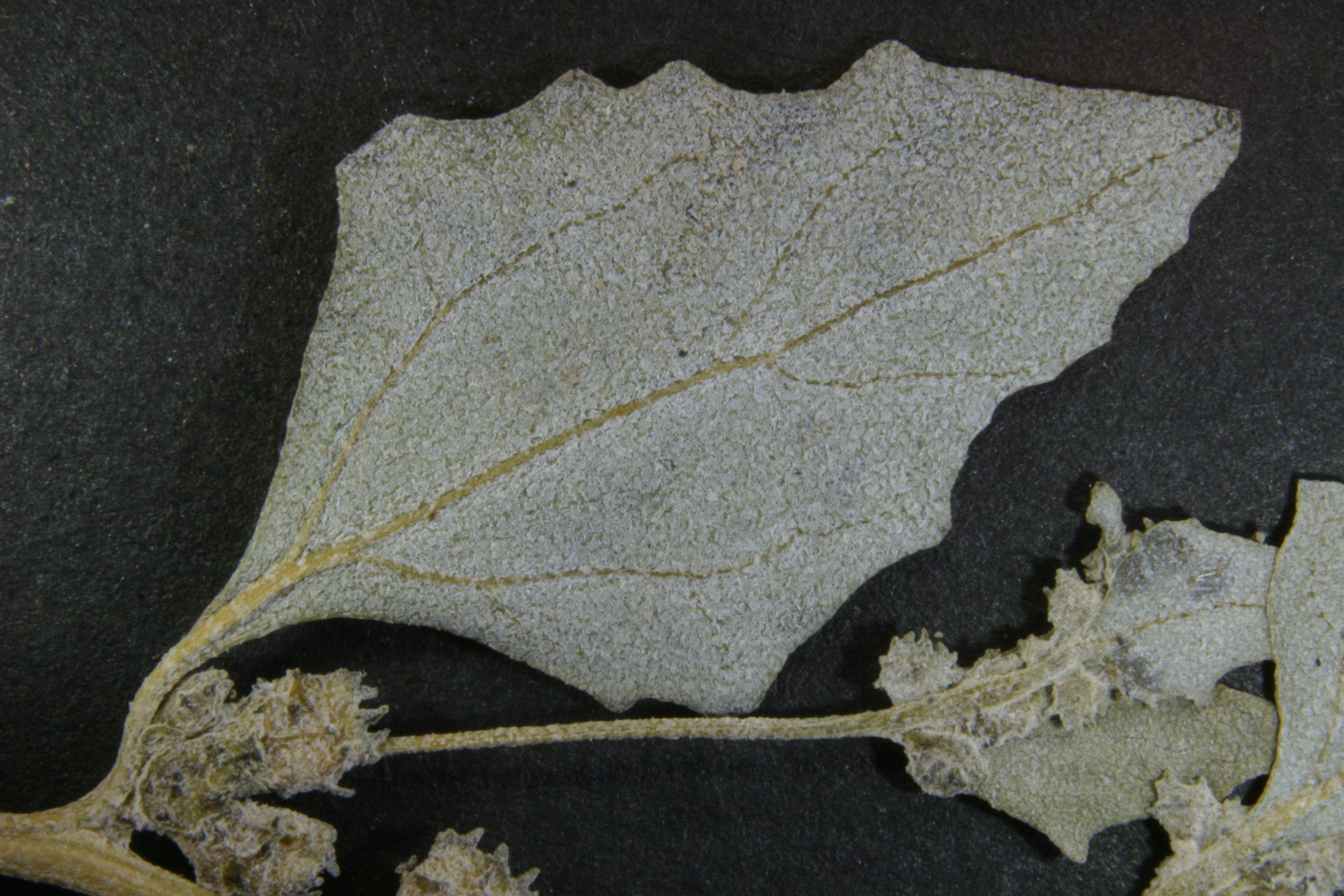 view image: Atriplex sibirica L.
